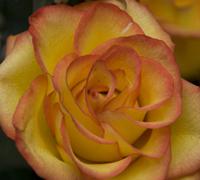 Rose © Susan Slotter